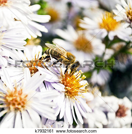 Stock Photography of Hney bee collects flower nectar k7932161.