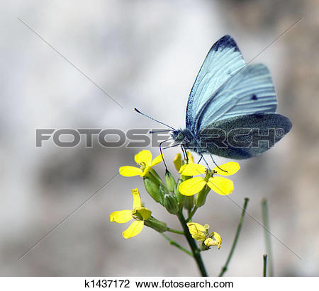 Stock Photo of a butterfly collects nectar on a yellow flower.