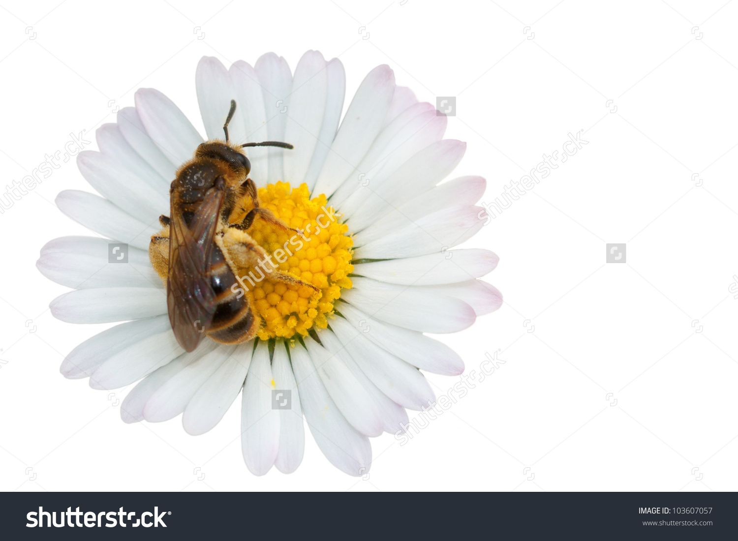 Honey Bee Collecting Nectar On Flower Stock Photo 103607057.