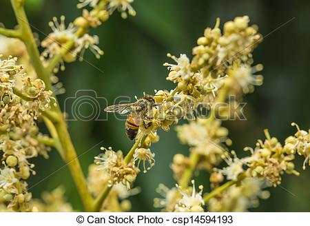 Stock Photographs of Honey bee collects flower nectar from longan.