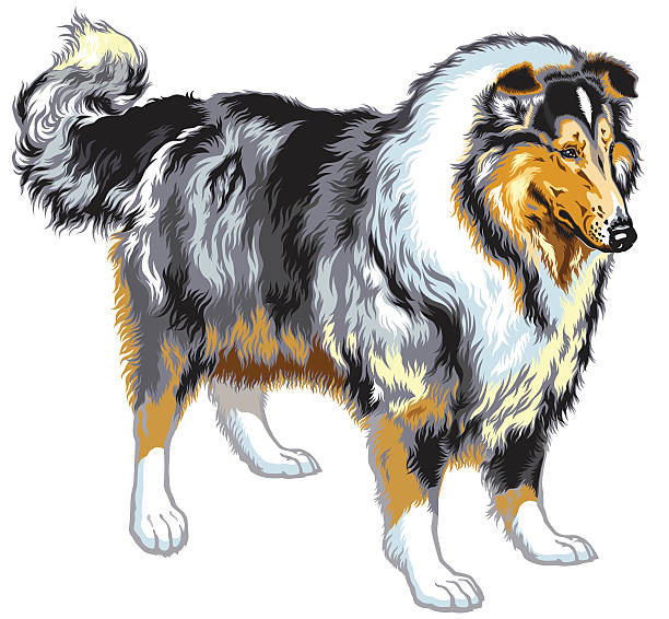 Rough Collie Illustrations, Royalty.