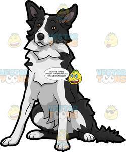 A Quiet Border Collie Dog.