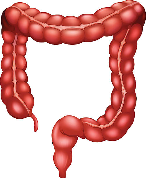 Best Large Intestine Illustrations, Royalty.