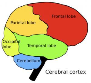 Brain Clip Art Download.