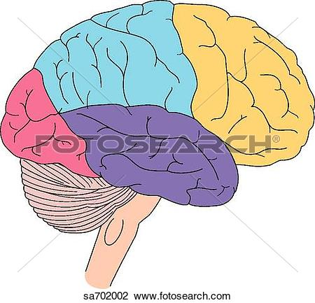 Clip Art of Lateral view of the brain with the different areas.