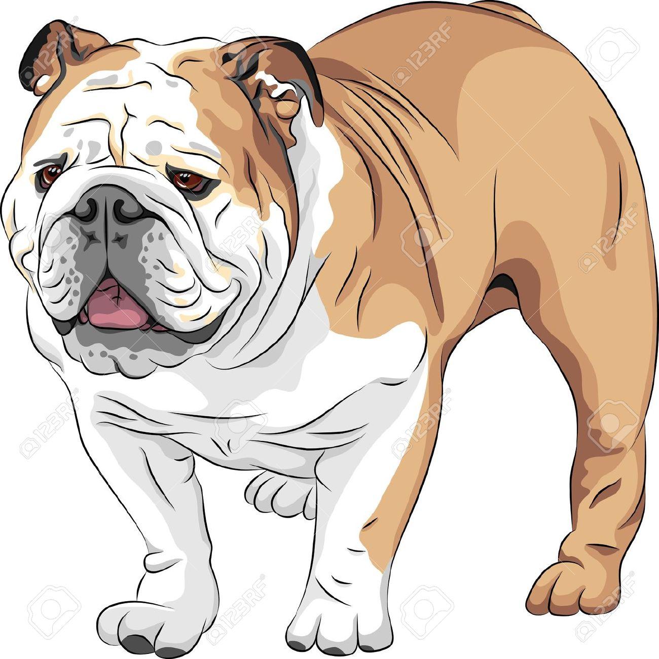COLOR Sketch Of The Dog English Bulldog Breed Royalty Free.