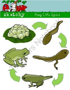 Frog Life Cycle Clipart, Graphic 300dpi Color Grayscale BW from.