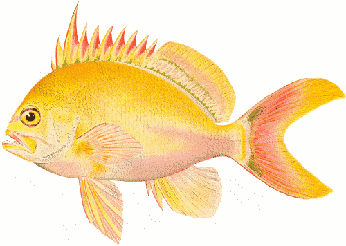 Free Colorful Fish Clipart, 1 page of Public Domain Clip Art.