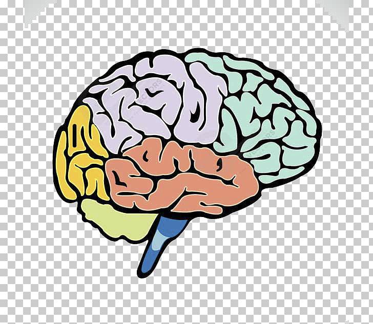 Human brain Lobes of the brain Cerebrum, Colored brain PNG.