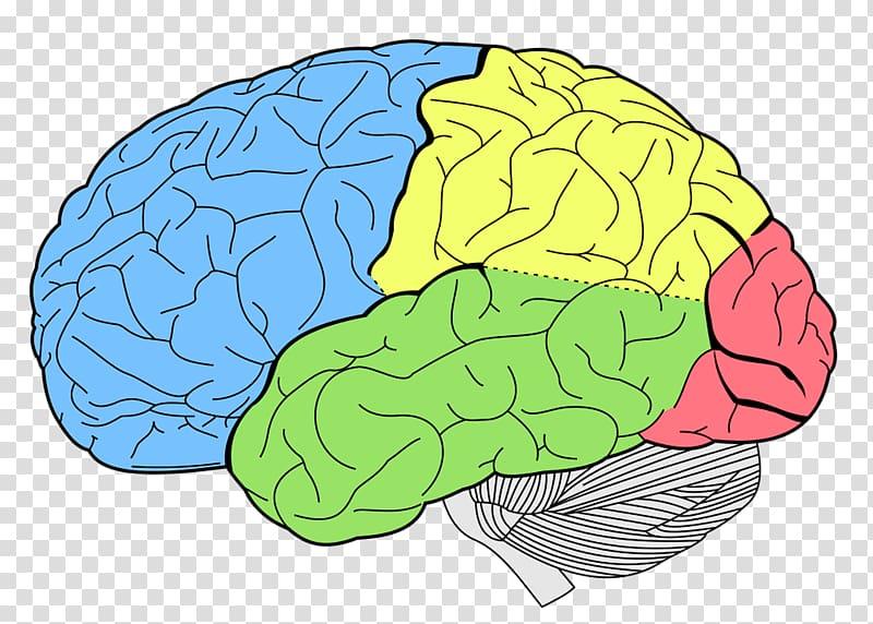 Human brain Anatomy Neuroscience Lobes of the brain, Colored.