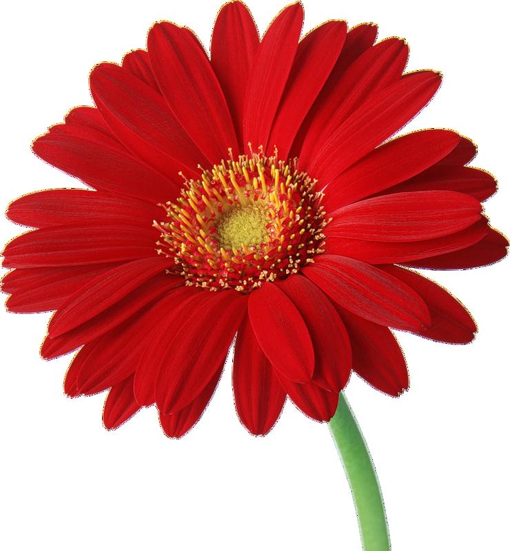 Gerbera daisy clip art.