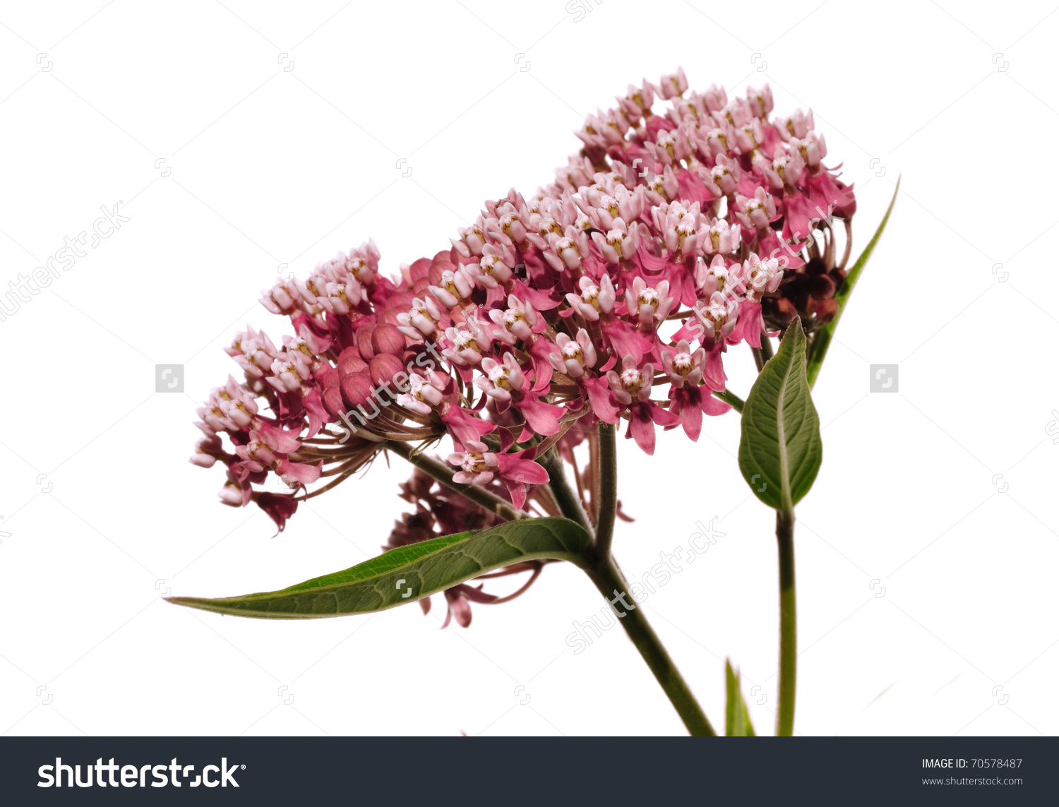 Swamp Milkweed Wildflower (Asclepias Incarnata) Isolated On White.