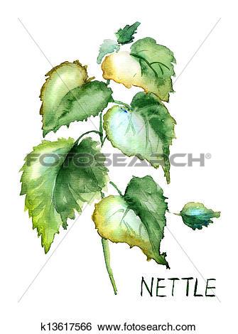 Stock Illustration of Stinging nettle k13617566.