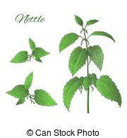 Nettle Illustrations and Clip Art. 156 Nettle royalty free.