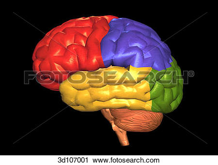 Clipart of Lateral view of the areas of the brain, which are.