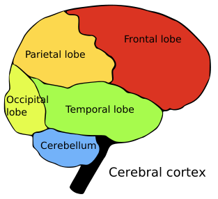 brain lobes color coded and.