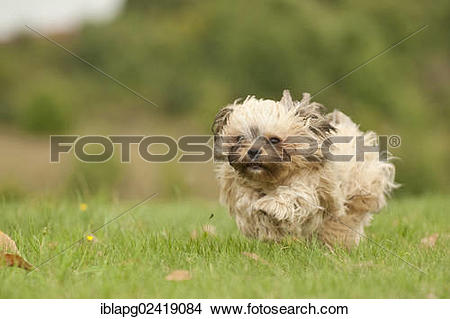 Stock Photo of Bolonka Zwetna or Coloured Lapdog running across a.