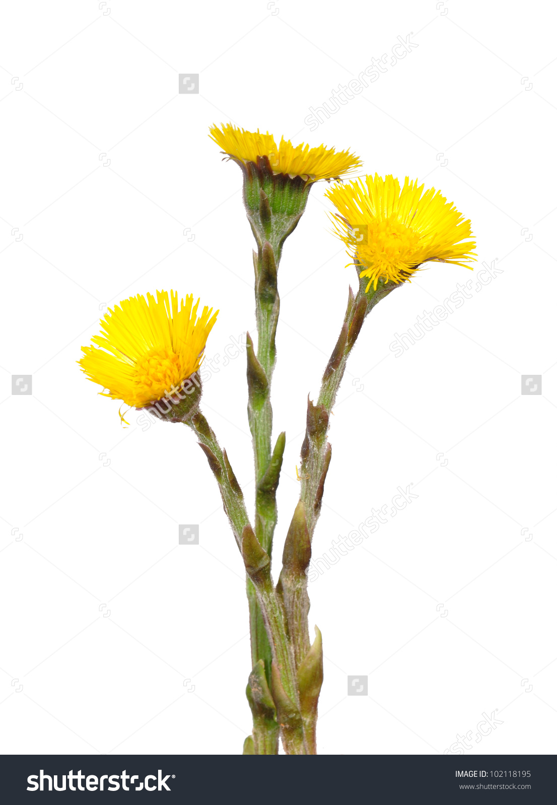 Coltsfoot Tussilago Farfara Stock Photo 102118195.