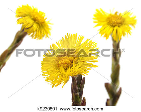 Stock Photography of Colts Foot or Tussilago farfara k9230801.