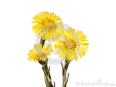 Floral Background With A Coltsfoot Stock Photography.