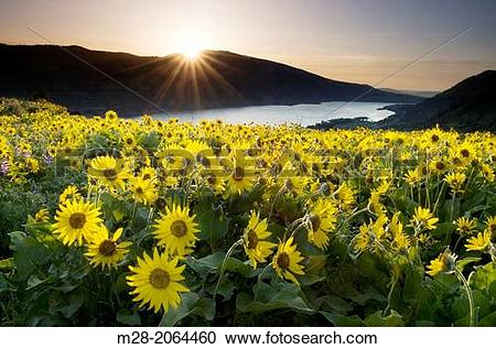 Stock Photography of Balsamroot wildflowers at sunrise, Rowena.