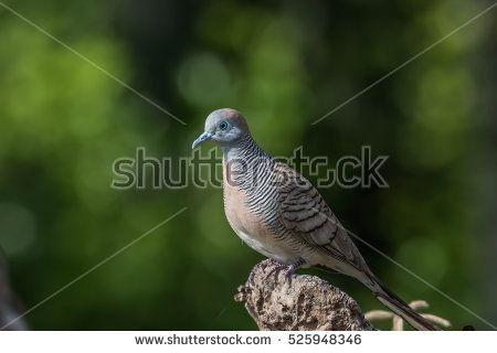 Columbidae Stock Photos, Royalty.