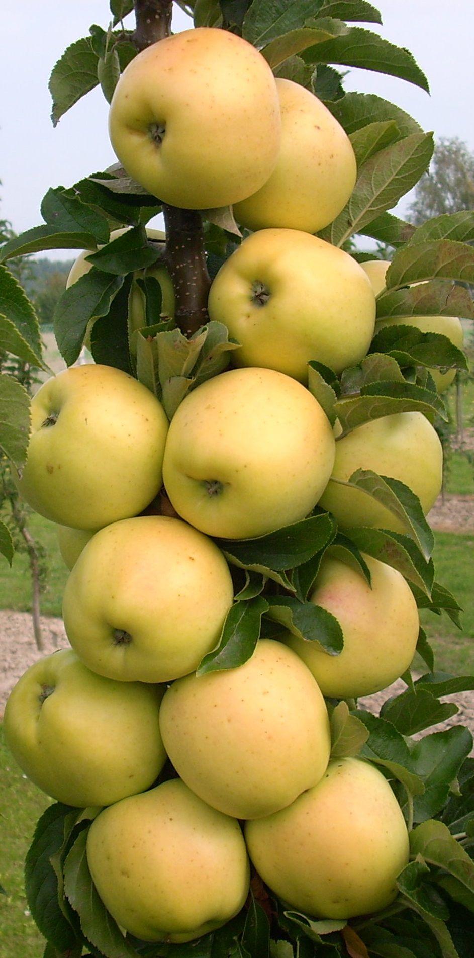 Columnar Apples.