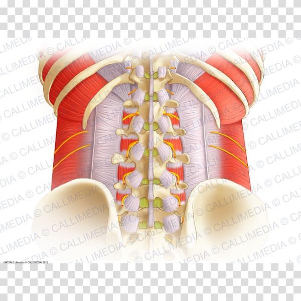 Aponeurosis Vertebral column Thoracolumbar fascia Anatomy.