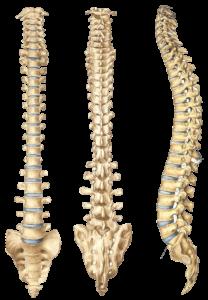 Columna vertebral.