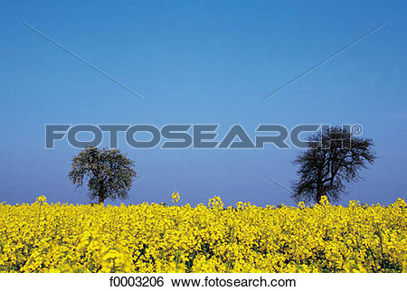 Stock Images of field, colza, field of flower, flora, wildlife.