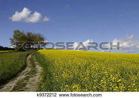 Stock Photo of Yellow field of colza flower and tractor tracks.