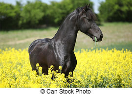 Stock Photos of Gorgeous black friesian horse in colza field.