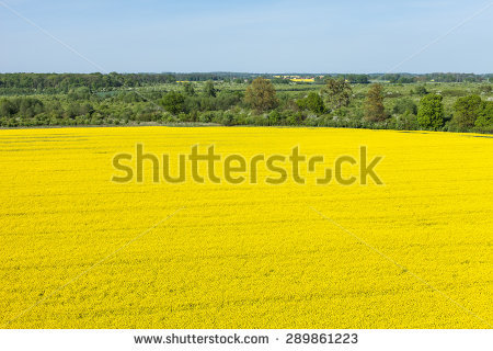 Colza Field Stock Photos, Images, & Pictures.