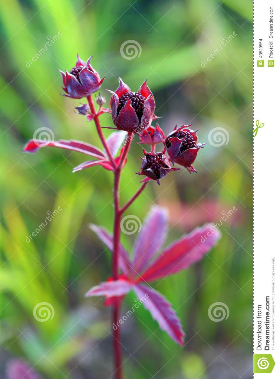 Comarum Palustre. Herb Stock Photo.