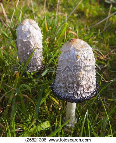 Stock Images of Lawyer's wig (Coprinus comatus) fungi k26821306.