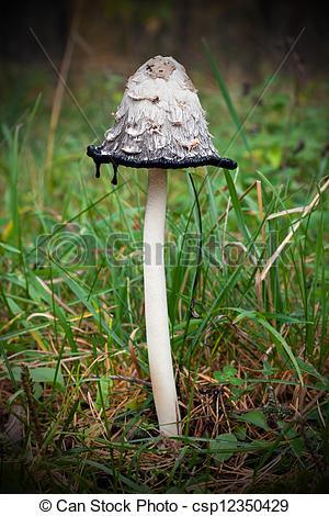 Stock Photo of Mushroom Coprinus comatus.