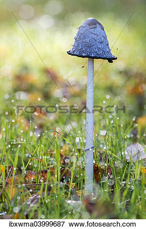 "Picture of ""Shaggy Ink Cap (Coprinus comatus), North Hesse, Hesse."