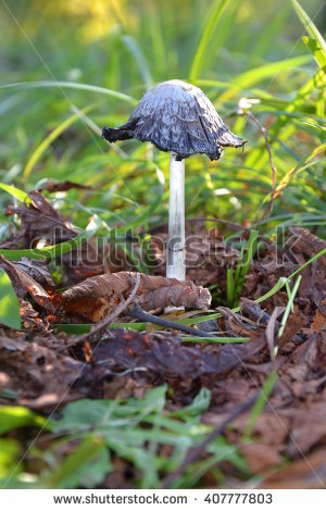 "coprinus Comatus"" Stock Photos, Royalty."