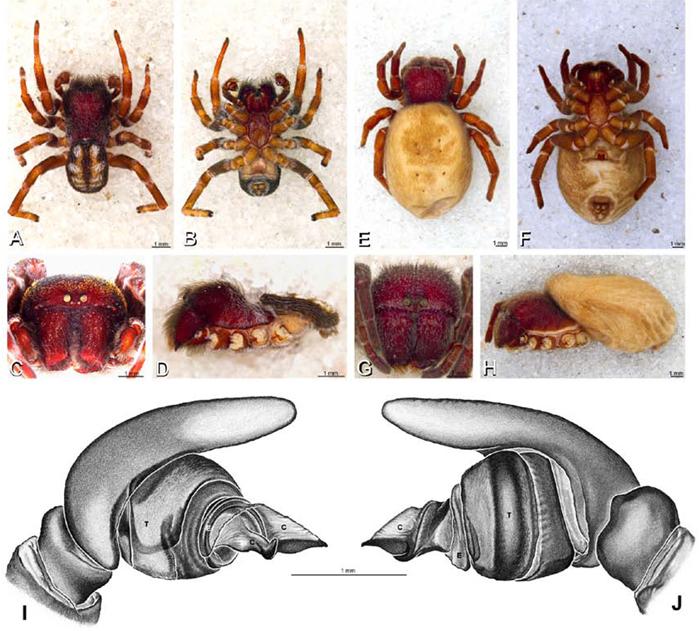 The velvet spiders: an atlas of the Eresidae (Arachnida, Araneae).