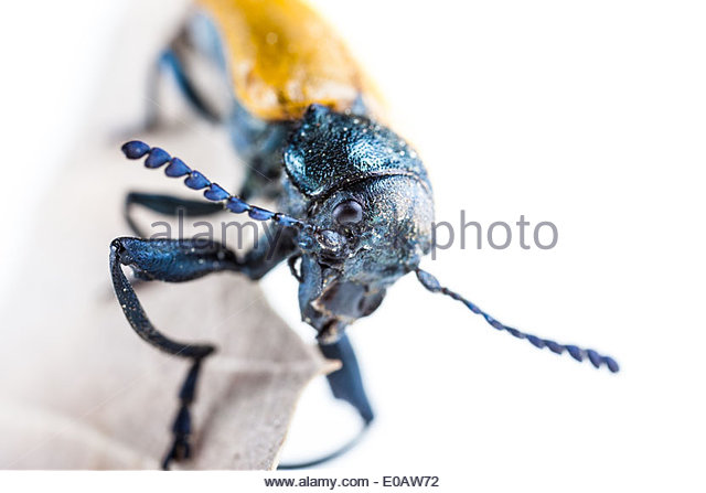 Comb Clawed Stock Photos & Comb Clawed Stock Images.