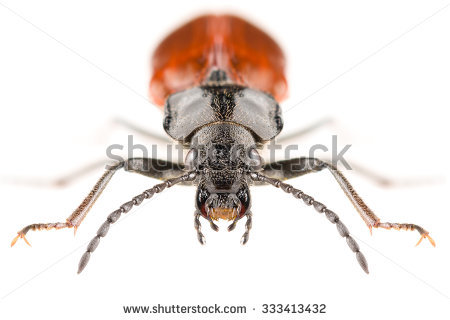 Tenebrionidae Stock Photos, Royalty.