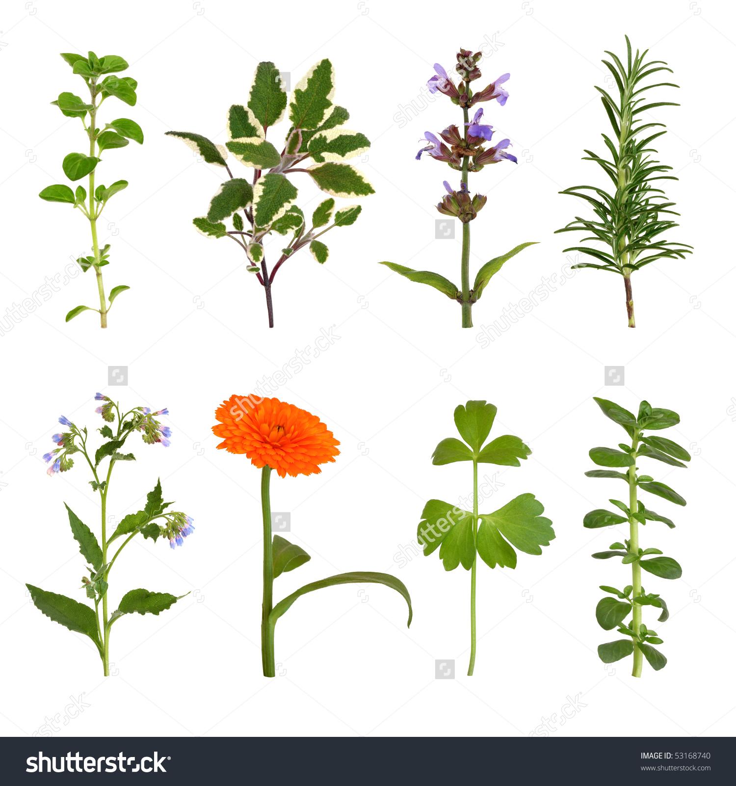 Herb Leaf Flower Selection Oregano Sage Stock Photo 53168740.