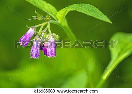 Stock Photography of comfrey k15536680.