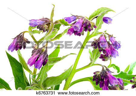 Stock Photography of Comfrey k6763731.