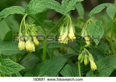 Stock Photography of Tuberous Comfrey (Symphytum tuberosum.