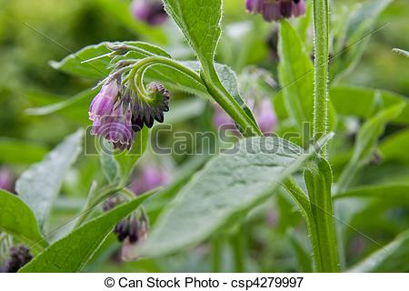 Picture of Comfrey.