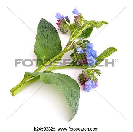 Stock Image of Symphytum (comfrey) k24593325.