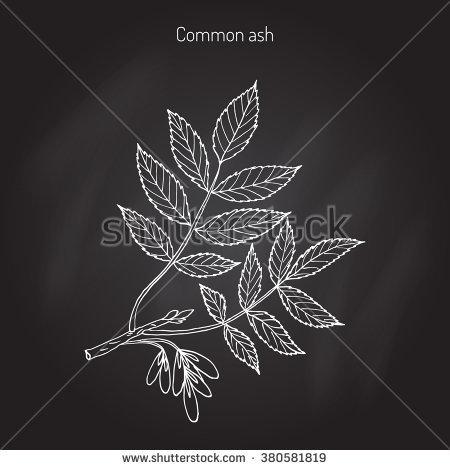 Ash Tree Stock Photos, Royalty.