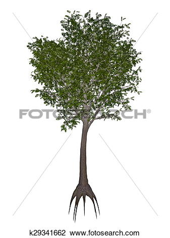 Clip Art of European or common ash, fraxinus excelsior tree.