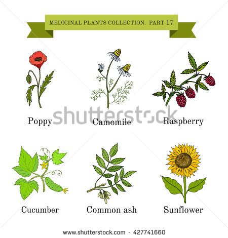 Vintage Collection Of Hand Drawn Medical Herbs And Plants, Poppy.